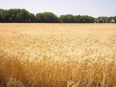 kansas wheat field pictures | Kansas wheat field ready for harvest.