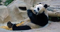 Interesting facts about Giant Pandas