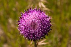 Thistle in Bloom Royalty Free Stock Image Diy Art Projects, Photo Link, Professional Photography, Creative Home, Dandelion, Bloom, Pink, Purple, Rose