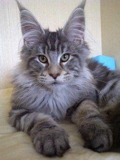 แมวเมนคูนบ้านอลังการเมนคูน Newton King of Alungkarn Cattery