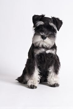 Escher by Reuben Yau #Miniature #Schnauzer I think this is my most favorite breed.