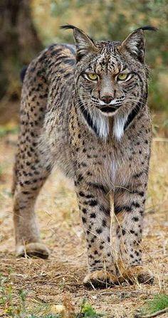 Iberian or Spanish Lynx