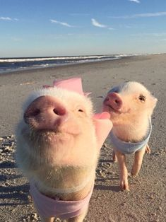 Be still my heart...two of my favorite things in this world. Little piggies and the beach!!!!!!