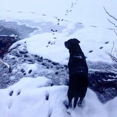 Paula steht am See vor einem Rätsel: wer ist da übers Eis gelaufen? Ob sie der Spur nachgehen kann oder hält sie ihr Instinkt zurück?  #naturbegegnungen #winter #tracking #animals #labrador #dog #hundeleben #spuren #snow