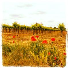 Entre Saint-Georges-d'Orques et Lavérune, coquelicots au bord des vignes, avril 2014.