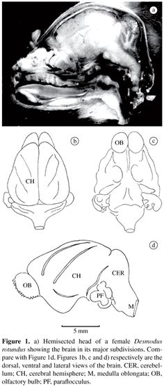 The brain of the common vampire bat, Desmodus rotundus murinus (Wagner, a cytoarchitectural atlas Camera Lucida, Bat Species, Brain Structure, Brain Stem, Brain Anatomy, Vampire Bat, Animal Kingdom, Mammals, Palaces