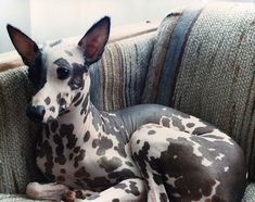 My next dog.... Peruvian Inca Orchid. I want one!! pretty hairless dog!!