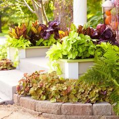 While mums and hydrangeas provide bursts of color, this entry also features easy-care foliage plants such as coralbells, ferns, caladium, and sweet potato vine. Extending the beds around the planters integrates the narrow steps with the landscape.