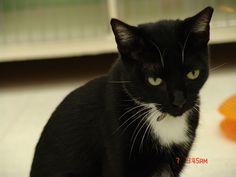 Petfinder  Adoptable   Cat   Domestic Short Hair   Lake Charles, LA   NOAH