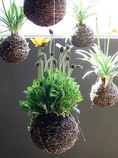 String gardens. Wrap the root ball with sheet moss, then wrap tightly with string and hang. What a conversation piece.