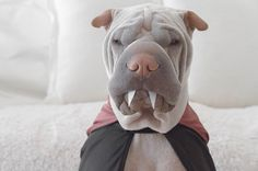 World's Most Photogenic Shar Pei And His Cat Are The Best Friends Ever | Bored Panda