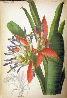 Vriesea (Vriesea Splendide Vista) - Google Search