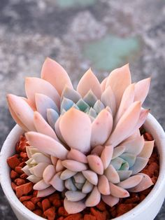 Echeveria 'Fun Queen'