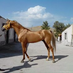 Caramel Palomino Iomud-Akhal Teke horse More