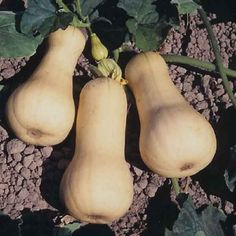 Dear Mr Butternut Squash, I love you the most, but don't tell the other squash.