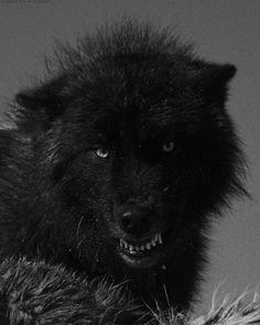 Black wolf: Lookin' grumpy!