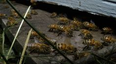 """""""High-Fructose Corn Syrup Linked To Bee Colony Collapse."""" http://www.honeycolony.com/article/high-fructose-corn-syrup-linked-to-bee-colony-collapse/"""