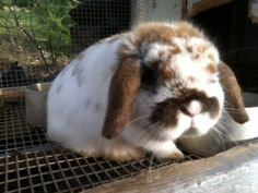 Holland Lop~broken orange just like Monsueir! We could call him his mini me!