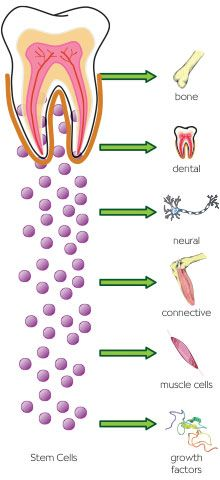 Dental stem cells are also being studied as a way to help treat a number of medical diseases and conditions.  Adult stem cells from teeth have been used to successfully grow jawbone and treat periodontal disease in people.
