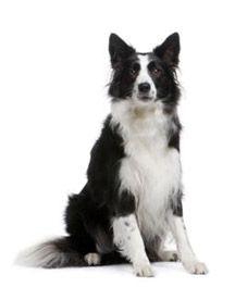 yo tengo una en color marron claro y se llama RUBIA  Razas de perros y Gatos | Border Collie | Mascotas Ya!