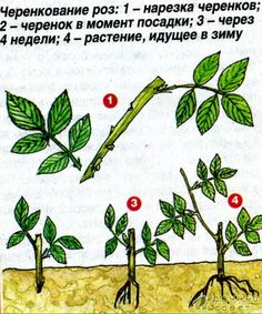 (58) Одноклассники Clematis, Plant Leaves, Flowers, Plants, Roses, Gardening, Pink, Rose, Lawn And Garden