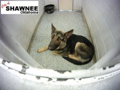Shawnee, OK►GAS CHAMBER SHELTER◄ Stray Intake 02/20 ID # 150112 Listed as a Medium size Male German Shepard: Available for adoption/rescue if not reclaimed 01/24/15 at 10:06 am. https://www.facebook.com/181162805272343/photos/np.106696455.1464363814/798540536867897/?type=1&notif_t=notify_me#