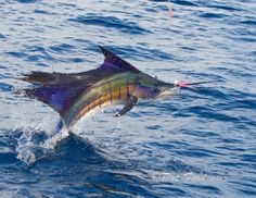 Incredible sailfish shots by photographer Pat Ford.
