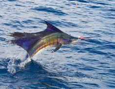 Incredible sailfish shots by photographer Pat Ford.