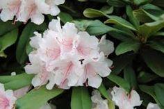 ++ Rhododendron Pulcherrimum Jacksonii 379 Zon 1-3 (4)