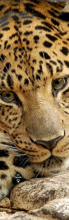 Leopard face closeup