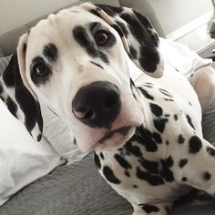 Psssst!! Are you awake?..... Dalmatian