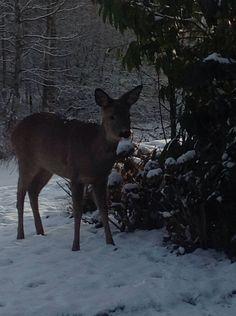 Bambi in the garden!
