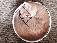 猫の何気ない仕草があまりにも美しすぎてメロメロになってしまう。心も体も溶けてしまってうっかり下僕となってしまう。そんな人類も多いことだろう。だがそれは必然だったのだ。   猫はフィボナッチ数列を使いこなしていて、人間が美しいと感じる黄金比をあえて作り出していたのだ。黄金比は1:1.618の自然界のDNAに組み込まれている比率のことで、モナリザやミロのビーナス、凱旋門、サグラダ・ファミリアなどにも応用されていると言われている。そして猫のあの流れるような曲線美は、実は黄金比だったのだ。