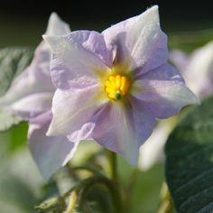 Kartoffel - Solanum tuberosum - Potato  Die Kartoffel ist ein Nachtschattengewächs. Fast alle kennen die Knolle, aber nur wenige den oberirdischen Teil. Wobei ich die Blüte ganz bezaubernd finde.  Zu uns gebracht wurde die Pflanze durch die Spanier. Doch aller Anfang war schwer. Galt sie doch als 'Frucht des Teufels'. Und diese wollte natürlich niemand verspeisen Potato Tattoo, Flower Tattoos, New Tattoos, News, Flowers, Plants, Tattoos Of Flowers, Floral Tattoos, Blossom Tattoo