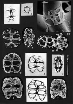 Acanthodesmia reticulata.
