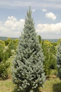Picea pungens 'Blue Totem' (Colorado Spruce) – A great slow-growing upright evergreen accent valued for its versatile form and respectable blue needle color. Will mature 15' tall and 5' wide over a 20 year period. Zone 3