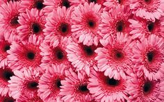 Pictures Download Daisy Wallpapers HD.