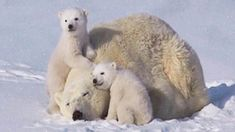 You're Going To Fall In Love With This Adorable Polar Bear Family, This Video Is Enchanting!(VIDEO) #polarbear #snow #adorable