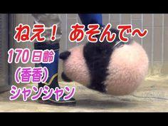 シャンシャン170日齢 ねえ!あそんで~! - YouTube