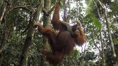 A male orangutan hangs from a tree in Gunung Leuser National Park in Langkat district of the Indonesia's North Sumatra Province.