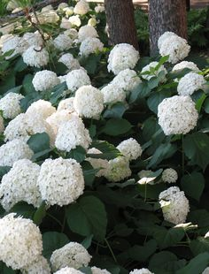 Smooth hydrangea pair well w/delicate foliage, so include Christmas fern, Solomon's seal, goats beard and black cohosh into the border.   Try variegated Solomon's Seal in front to draw attention to white blooms of Annabelle.