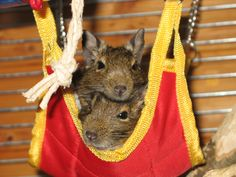 degu This is what Eve and Giselle do! Degu Cage, Spirit Guides, My Princess, Rats, Fur Babies, Funny Pictures, Cute Animals, Passion, Friends