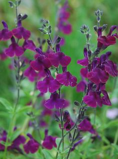 Salvia x jamensis 'Nachtvlinder' - long flowering, hardy, shrubby perennial, 75cm height (Dyson's Nurseries)