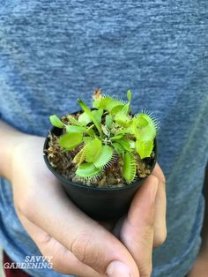 Venus fly traps are a unique carnivorous plant with special care requirements. Learn all the ins and outs of Venus fly trap care, including the best growing medium to use, watering techniques, tips for feeding your plant, and - most importantly - advice on how to treat the plants during their natural dormancy. #carniverousplants #gardening Unique Plants, Cool Plants, Venus Fly Trap Care, Venus Fly Trap Terrarium, Garden Insects, Plant Diseases, Fly Traps, Peat Moss, Unusual Flowers