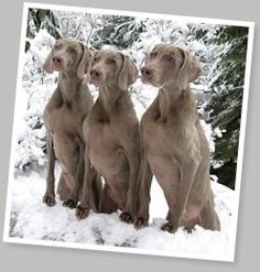 Who can resist a Weimaraner?