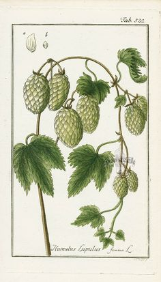Humulus lupulus (common hop or hop) is a species of flowering plant in the Cannabaceae family, native to Europe . Humulus lupulus is a main ingredient of many beers,