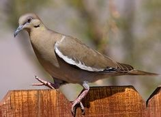 White-winged Dove.  This is the most common bird in our backyard.  We've had as many as 20 at one time, and one pair is currently nesting atop one of our covered patio pillars.  They let the sparrows (and squirrels...grrr) knock food out of the feeders, then pick it up off the ground.  They make very pleasant and peaceful neighbors.