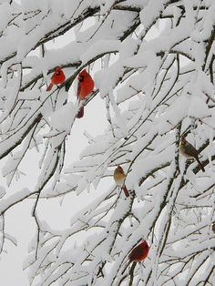 Cardinals + Male and Females + Nature + Outdoors + Heavy snowy tree branches + White