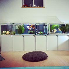 【seiki_oto】さんのInstagramをピンしています。 《• The last day of the year. My space of relaxation😁 • • 大掃除もせずに水槽のレイアウト変更。 よいお年を。 • #goldfish #goldfishunion #kingyo #oranda #Pearlscale #hamanishiki #crownpearlscale #tosakingyo #tosakin #aquarium #japanology #アクアリウム #金魚 #オランダ獅子頭 #ピンポンパール #浜錦 #土佐錦魚 #土佐錦  #アラジンストーブ #ブルーフレーム #アラジン #aladdin #blueframe》