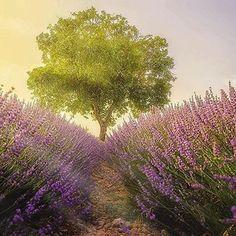 #Repost @paulsprague:#Repost @edaccessible  Warm and uncloudy sunset in a lavender field by @manuelo_bo  Location: Villaviciosa de Tajuña Guadalajara  Spain #love #TagsForLikes #TagsForLikesApp #instagood #me #smile #follow #cute #photooftheday #tbt #followme #girl #beautiful #happy #picoftheday #instadaily #food #swag #amazing #TFLers #fashion #igers #fun #summer #instalike #bestoftheday #smile #like4like